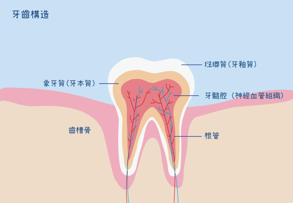 牙齒構造圖