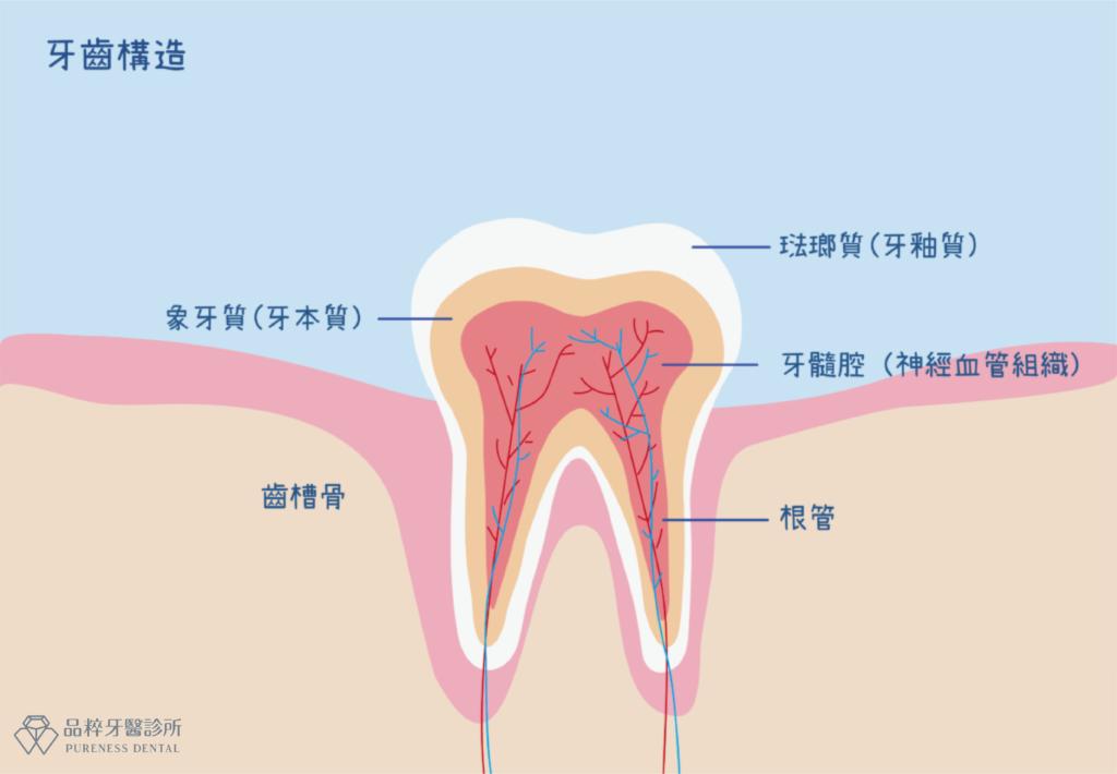 牙齒剖面構造圖