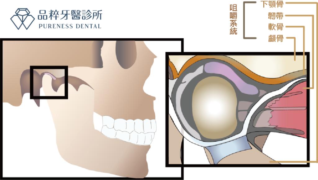 品粹牙醫顳顎關節側面剖面圖